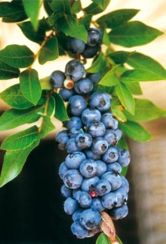 Blaubeeren - ein Genuss, den Ihnen auch FloraFarm Ginseng bietet.