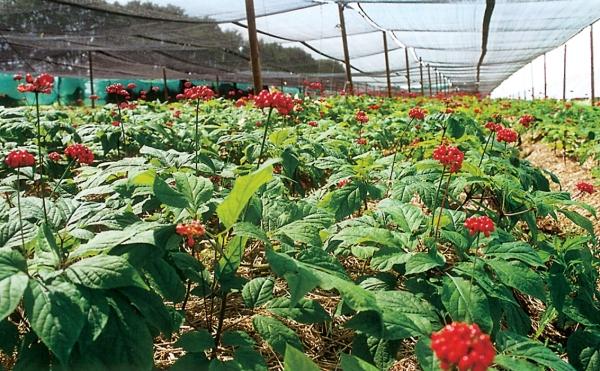 Ginsengfeld im Sommer auf der FloraFarm