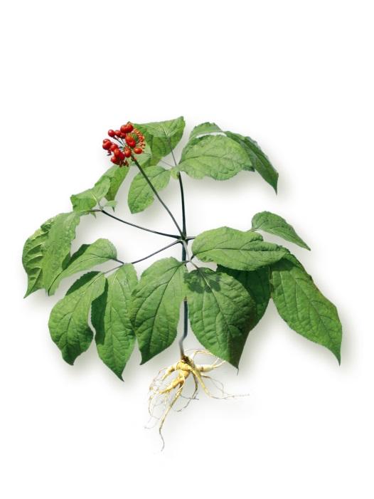 Ginsengpflanze (Panax ginseng C. A. Meyer) von FloraFarm