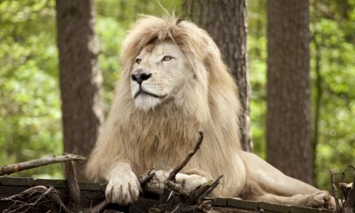 Löwen und andere wilde Tiere erleben Sie mit FloraFarm Ginseng im Serengetipark Hodenhagen.